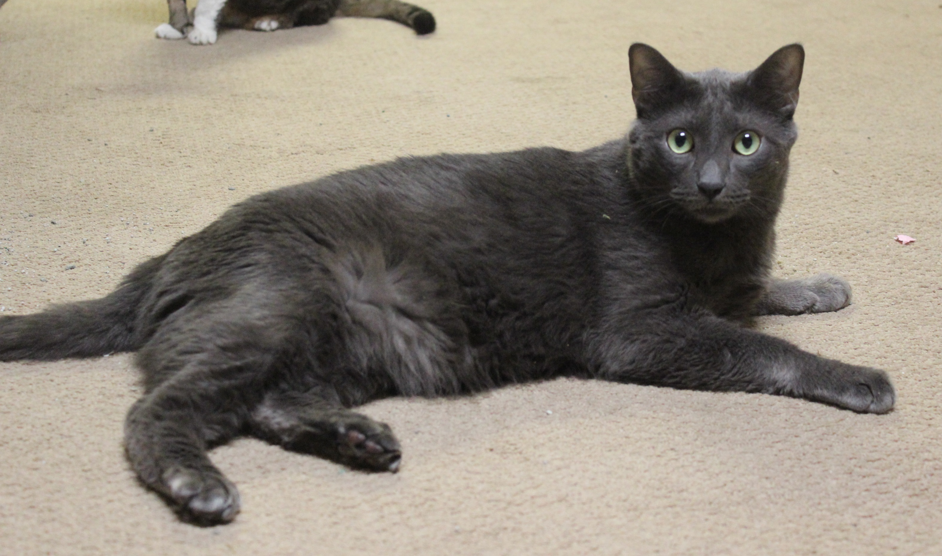 "Cat for Adoption – Alfalfa "" Russian Blue Ball of Love "" near"
