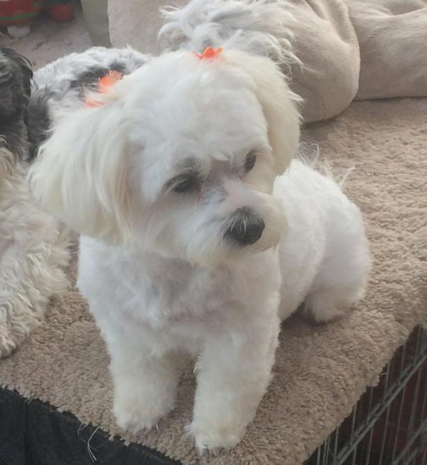 Dog For Adoption Ania A Bichon Frise Shih Tzu Mix In Homer Glen