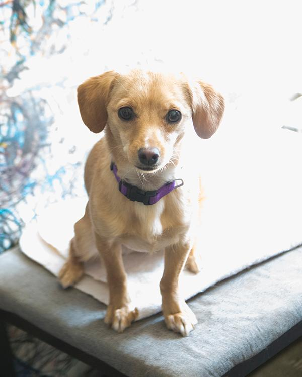 Goldy, an adopted Chihuahua & Miniature Pinscher Mix in Fort Smith, NT