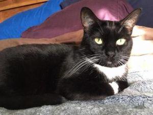 Grace Kelly Tuxedo Cat