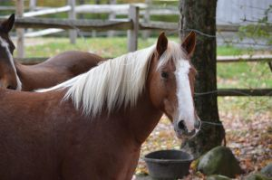 Sassafras Sassy is a branded BLM Mustang 132 hd mare rescued from a kill pen