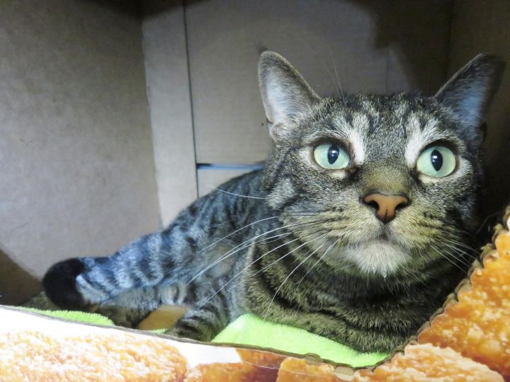 Rubicon, an adopted Domestic Short Hair Mix in Harrisburg, PA