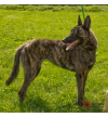 Belgian Shepherd / Malinois Dog: Loyalty