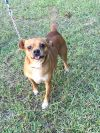 Pug Dog: Rusty