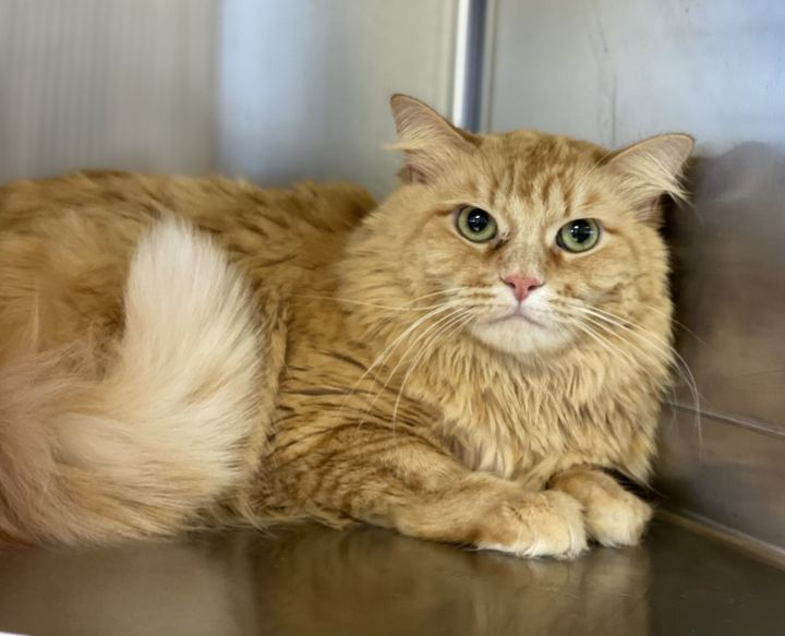 Ginger 6 AKA Sofi, an adoptable Domestic Long Hair Mix in Los Alamitos, CA