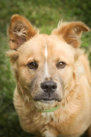 Valerie, an adopted Chow Chow & Golden Retriever Mix in Charlotte, NC