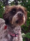 German Wirehaired Pointer Dog: SOOKIE Cats OK!
