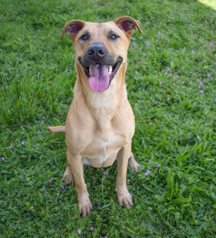 Zena, an adoptable Labrador Retriever & Shepherd Mix in Longview, WA