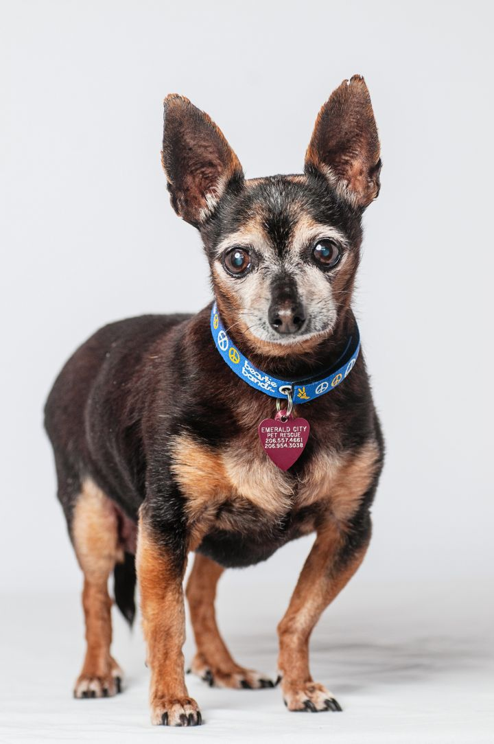 Snowdrop, an adopted Chihuahua Mix in Seattle, WA