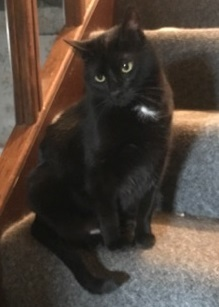 Berry & Sidney, an adoptable Domestic Short Hair in Waverly, IA