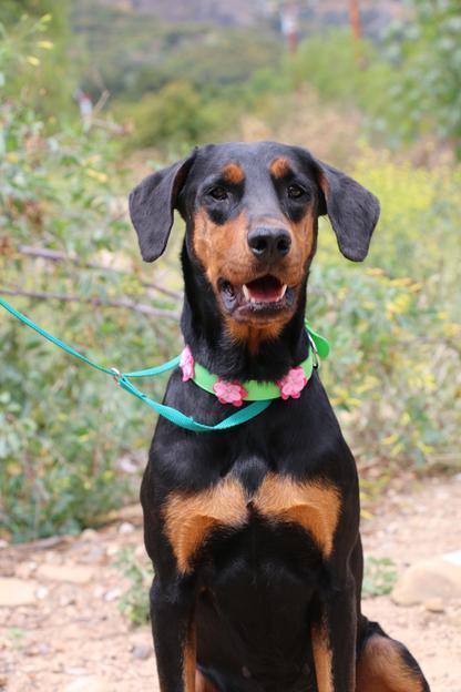 Dog for adoption - Angel, a Doberman Pinscher & Rottweiler