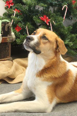 Dog for adoption - Muffin, a Saint Bernard Mix in Wichita