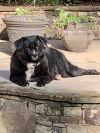 Newfoundland Dog Dog: Gaby