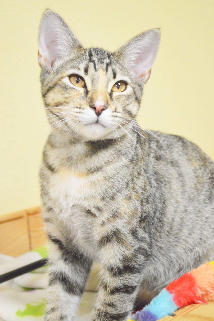 Kit, an adopted Domestic Short Hair & Tabby Mix in Clermont, FL