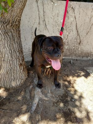Kracken is a 2 yr old american bulldog from the Redlands shelter Hes a great d