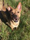 Belgian Shepherd / Malinois Dog: Gizmo