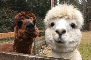 Larry Curly and Moe are a bonded alpaca trio who brighten up everyones day with their sweet faces