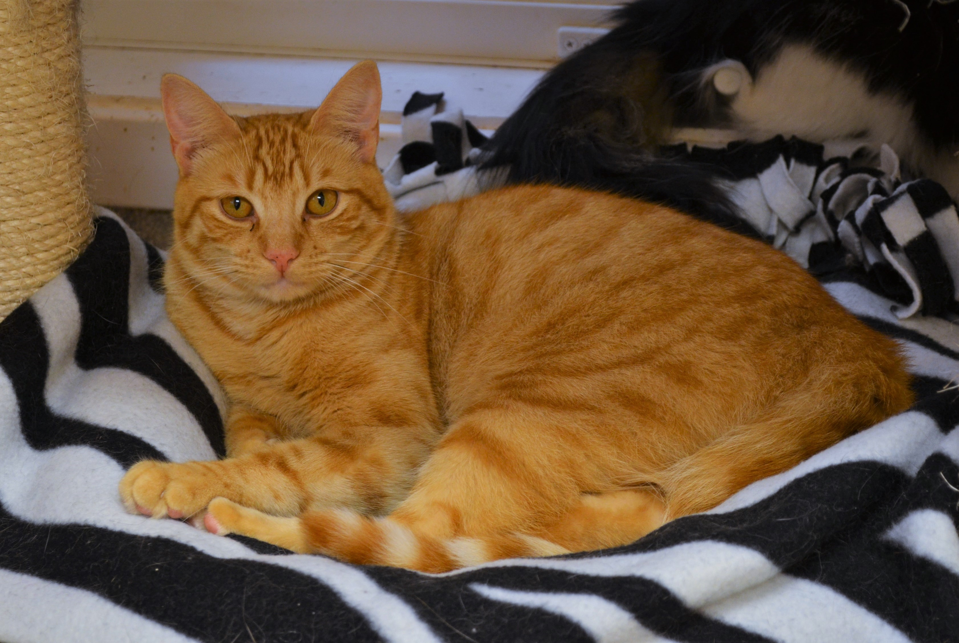 Cat for Adoption – Curry near Clinton CT