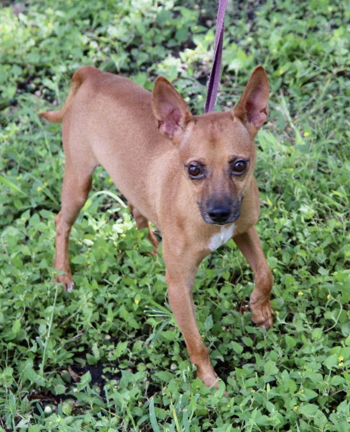 Dog for adoption - Chopper, a Miniature Pinscher & Chihuahua
