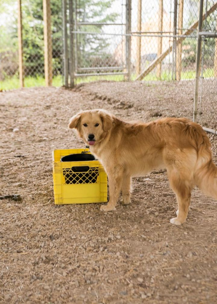 Jasper, an adopted Golden Retriever Mix in Fort Smith, NT