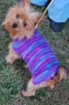 Yorkshire Terrier Yorkie Dog: Keenan- Special needs