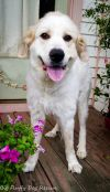 Great Pyrenees Dog: Allie