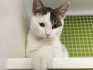 My name is Felicia I am a female white with tabby stripes cat I was born in 20
