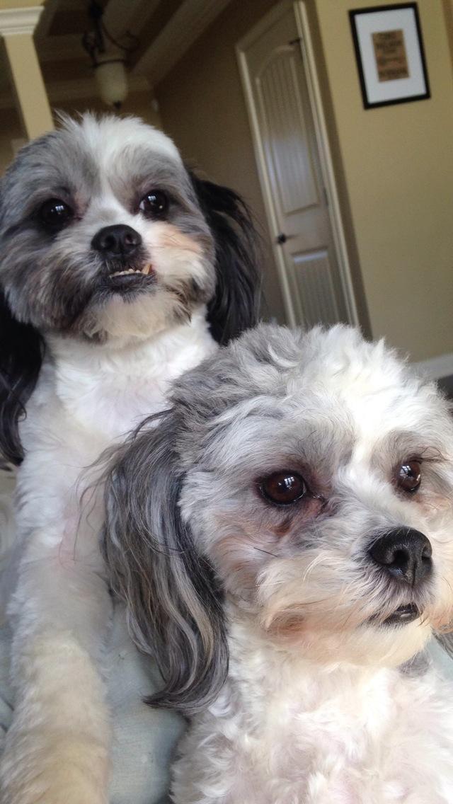 Dog For Adoption Apollo And Rocky A Shih Tzu Bichon Frise Mix