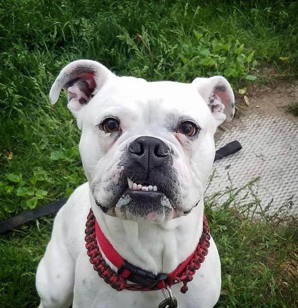 Dog For Adoption Ollie An English Bulldog American Bulldog Mix