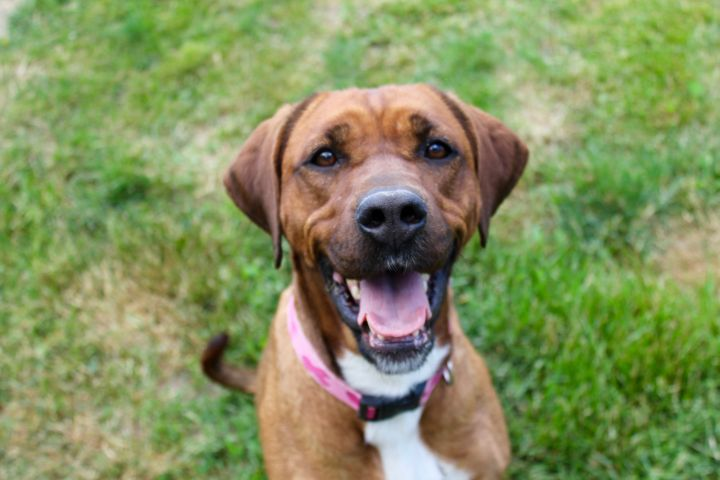 Indie, an adoptable Rhodesian Ridgeback & Hound Mix in Lake Odessa, MI
