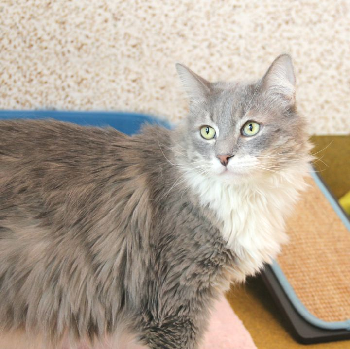 Lee, an adopted Domestic Long Hair Mix in Clovis, CA