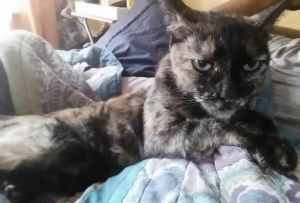 Name Tabitha Age 15 Coloring Tortie Tabitha needs to be rehomed as her owner is moving She is th
