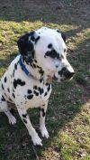 Dalmatian Dog: Spartan