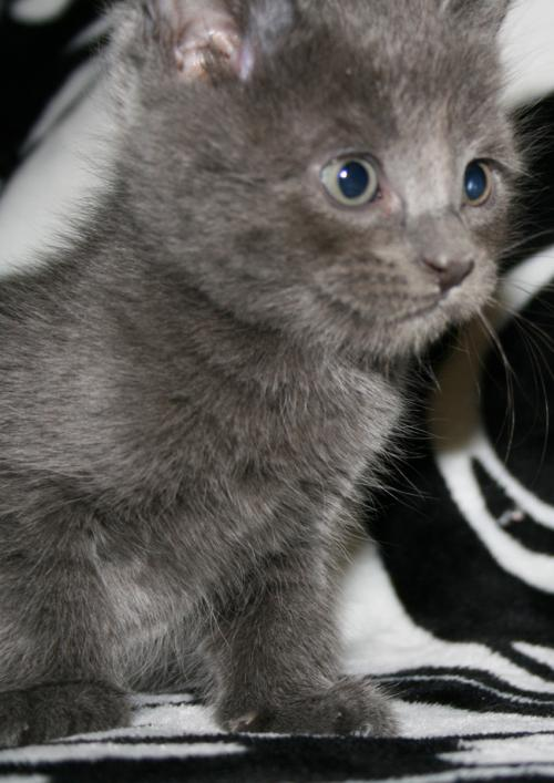 Cat For Adoption Pebble I Am A Russian Blue A Domestic Short Hair In Newport Beach Ca Petfinder