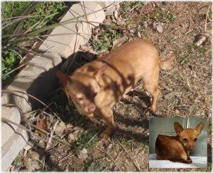 Dog for adoption - Rickenbacker (Little Rickey) - In TEXAS