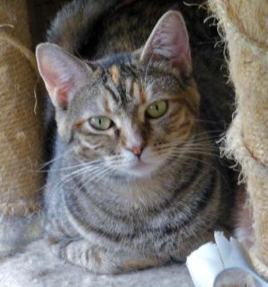 Cat for adoption - Cailin, a Domestic Short Hair in Richmond, VA