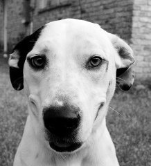 Please meet sweet Sparkle the Disney Dog Sparkle is a retrieverDalmatian mix and she is just pre