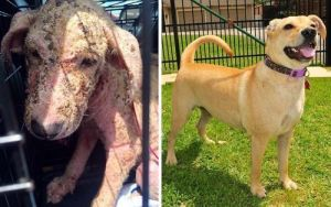 Ava Labrador Retriever Dog