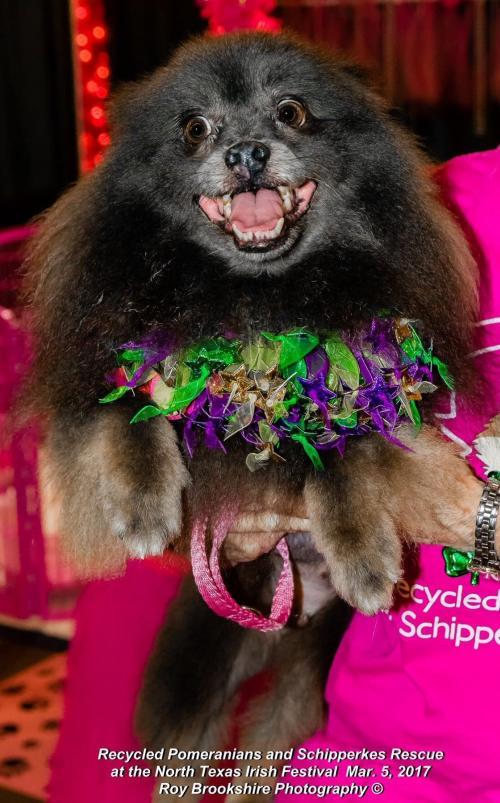 Dog For Adoption Braveheart Bear Dfw Near Dallas Tx Petfinder