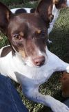 Smooth Fox Terrier Dog: Elliot