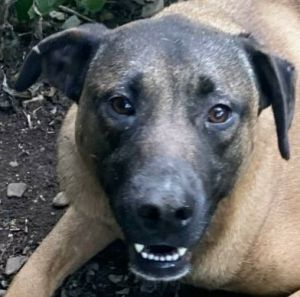 Lori is a three and a half year-old HoundLabrador Retriever mix rescued from Puerto Rico along with