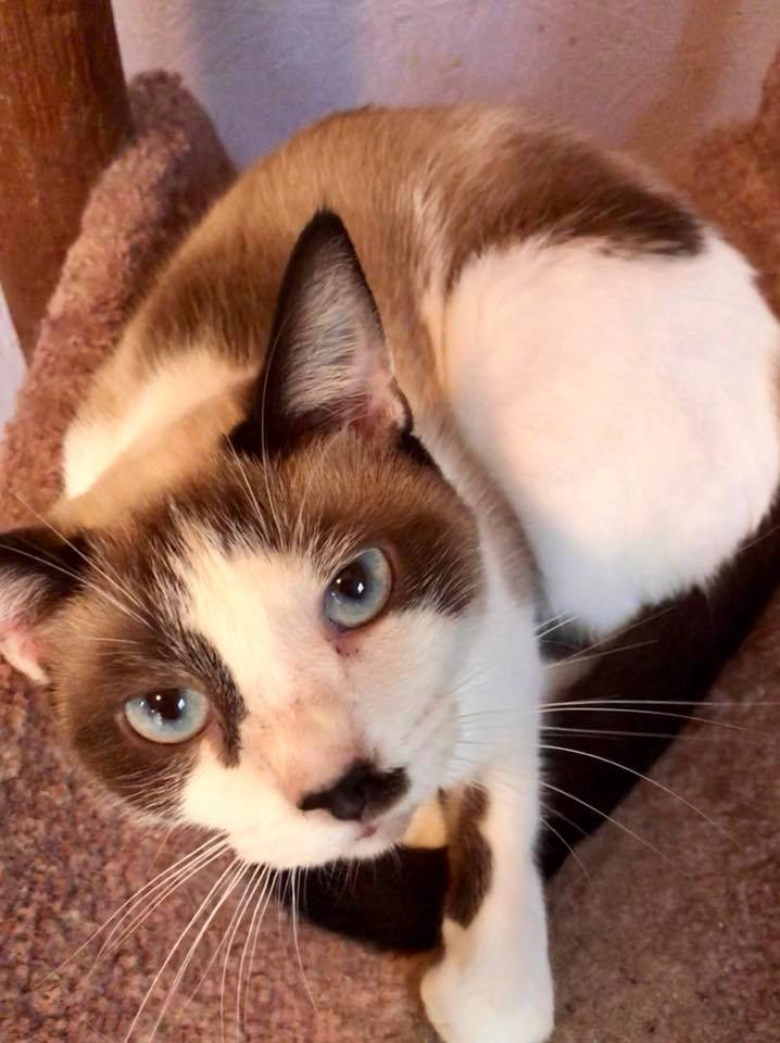 Cat for Adoption – Numi Baby Seal point near Griffin GA