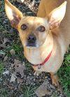 Miniature Pinscher Dog: Sophie