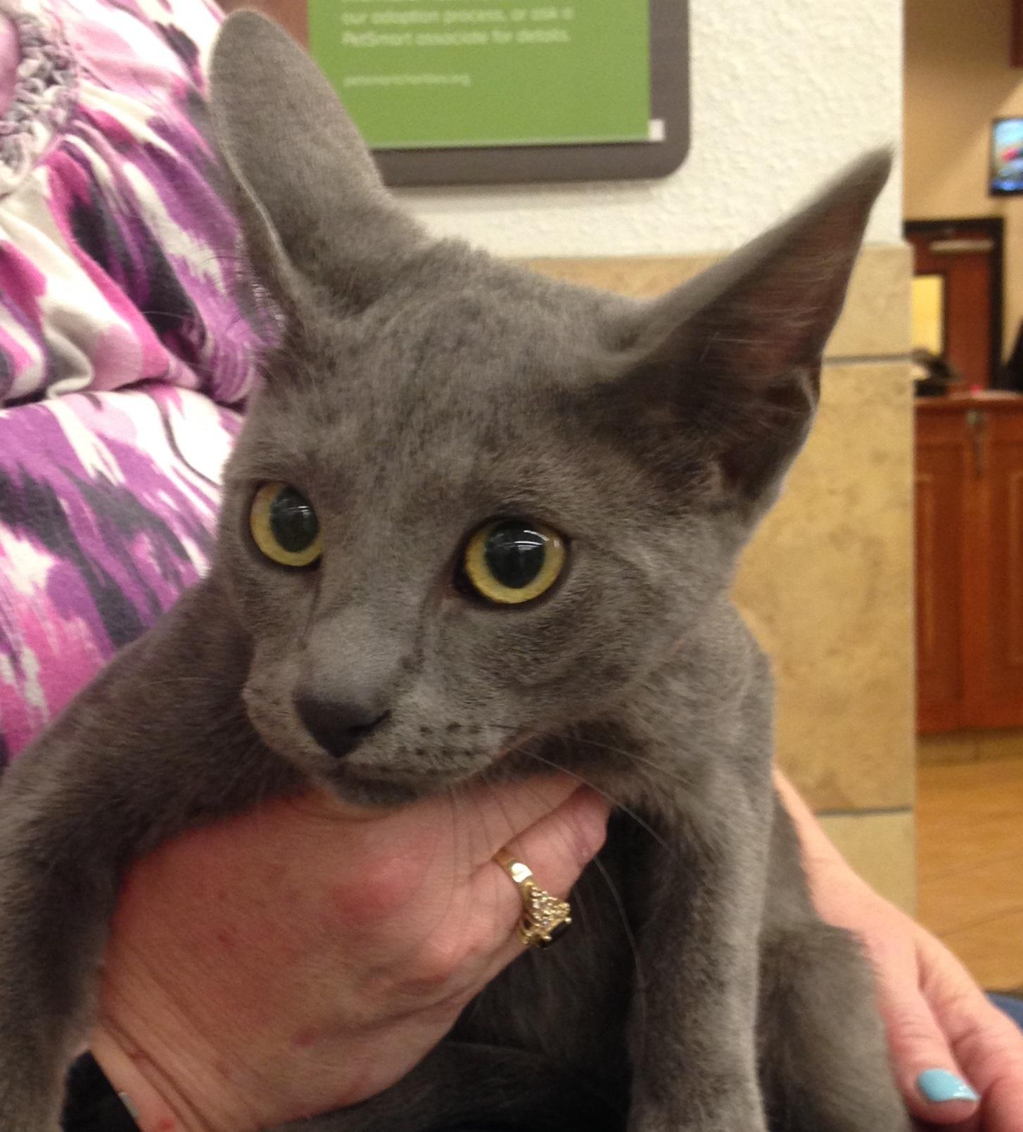 Cat for Adoption – Archie near Houston TX