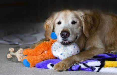 Dog For Adoption Prince A Golden Retriever In Minnetonka Mn