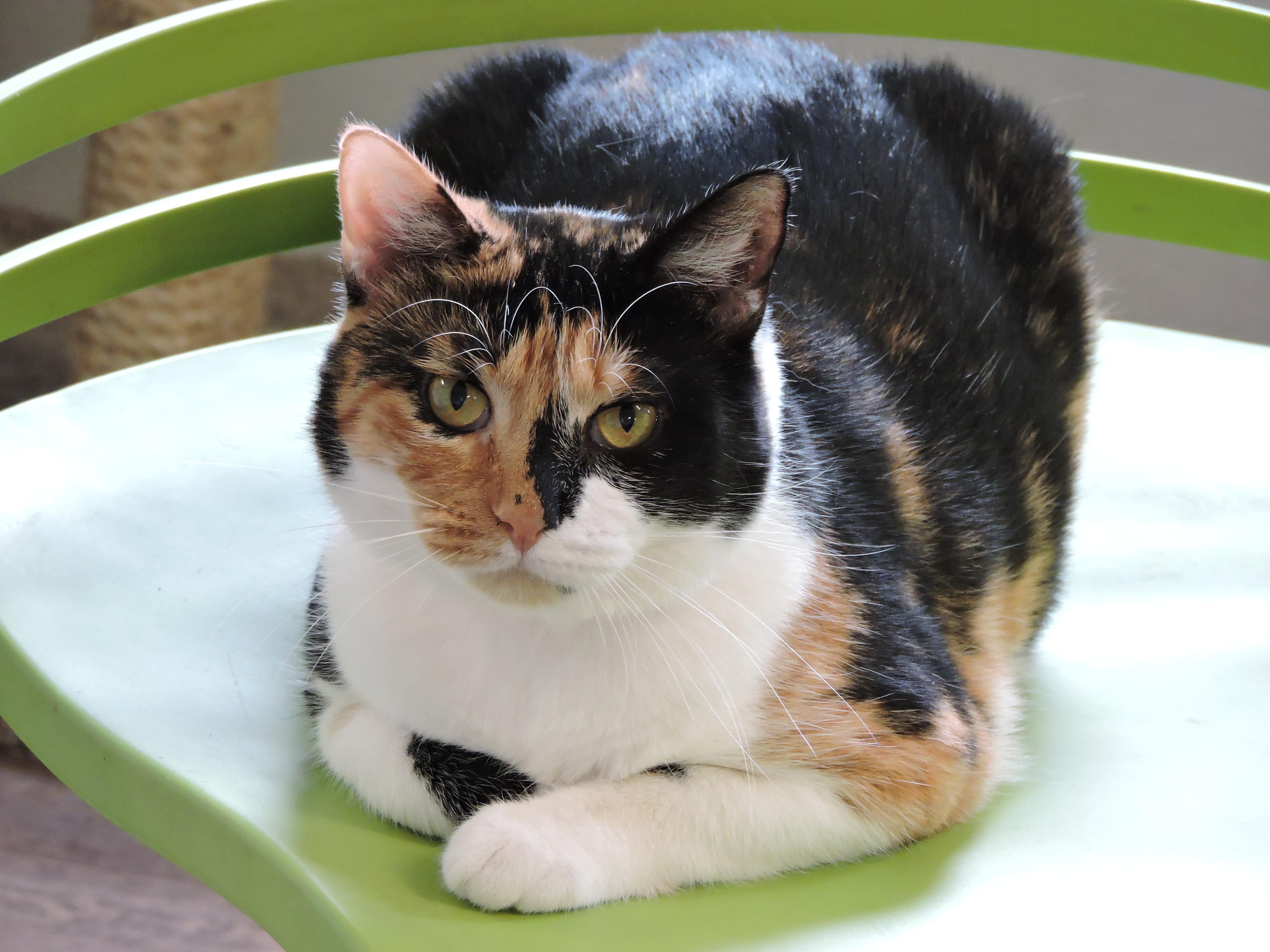 Cat for Adoption – April, near Macon, GA   Petfinder