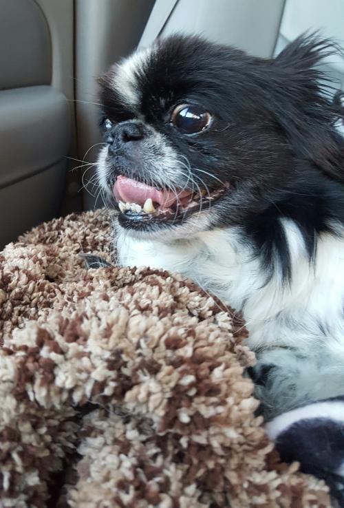 Dog for adoption - Zoboomafoo, a Pekingese in Elizabethtown, PA