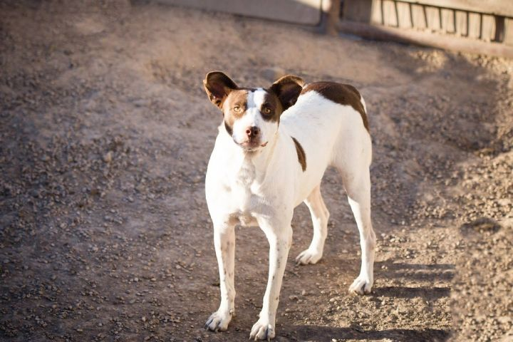 Major JuM, an adoptable Brittany Spaniel & Pit Bull Terrier Mix in Von Ormy, TX