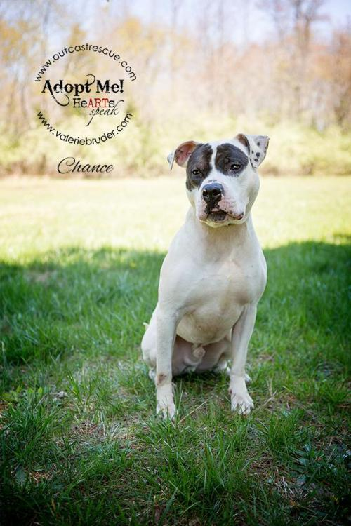 Chance, an adoptable American Bulldog & Pit Bull Terrier Mix in Catasauqua, PA