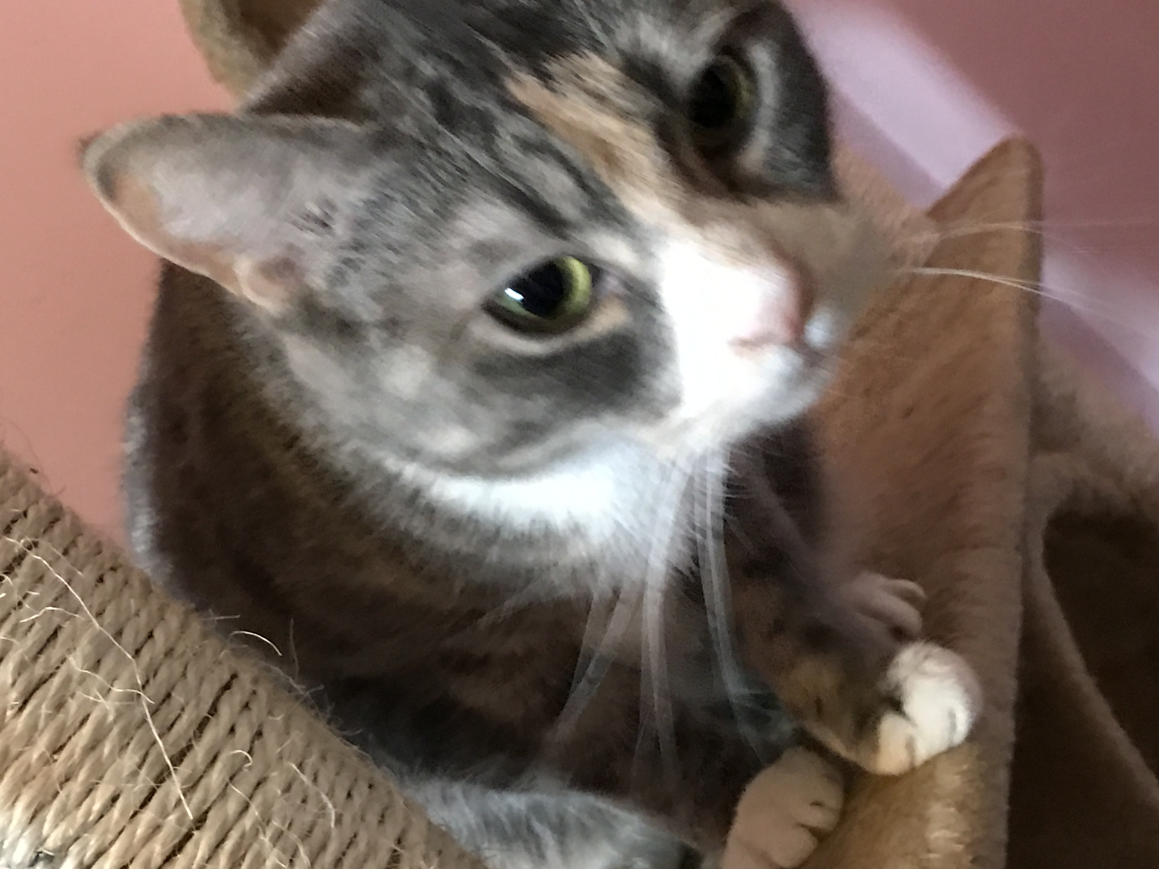 Cat for Adoption – DSH Dilute Calico Female near Wilburton PA